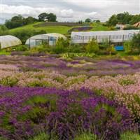 Malton Market & Yorkshire Lavender